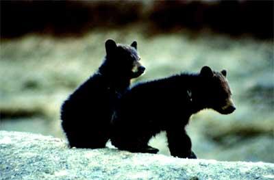 black-bear-sex-rivera-sex-tape