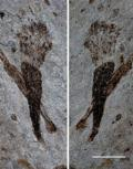 Oldest Fossils of Large Seaweeds